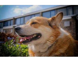 Best Ways To Care for a Pembroke Welsh Corgi