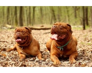 Is a Dogue de Bordeaux the Right Dog For You?