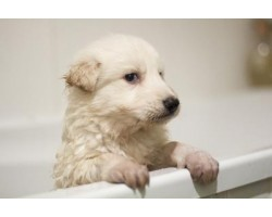 When and How to Bathe a Puppy at Home