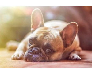 How to help your French bulldog from Past Trauma