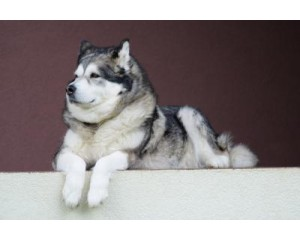 How to Groom an Alaskan Malamute Quickly and Effectively