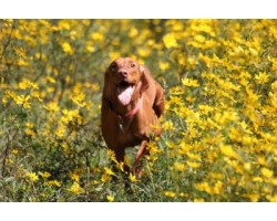 5 Best Ways to Keeping Your Vizsla Happy and Healthy