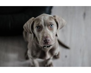 5 Reason why Weimaraner is a good dog