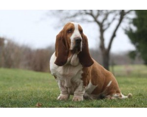 6 Basset Hound Breed Medical Problems You Must Know