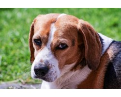Natural Remedies for Upset Stomach in Beagle