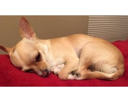 How to Cure A Chihuahua's Stomach Ache Quickly and Effectively