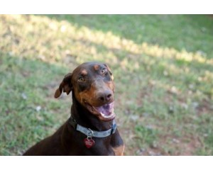 10 Fun Facts About Doberman You Did Not Know