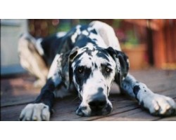 Top Great Dane Diseases You Should Know To Prevent