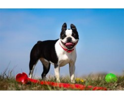 5 Secrets to Keep Your Boston Terrier Happy and Healthy