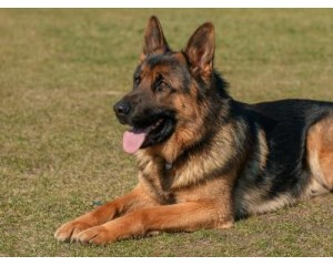10 Reasons Why a German Shepherd is a Good Family Dog