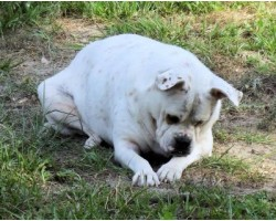 Top 10 Dog Breeds Prone to Obesity