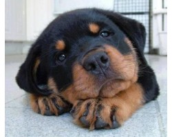 Best 7 Foods to Feed Your Rottweilers