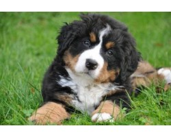 5 Common Bernese Mountain Health Problems