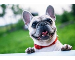 5 Simple Steps to Keep Your French Bulldog's Teeth Healthy
