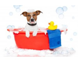 How to Give a Jack Russell a Bath