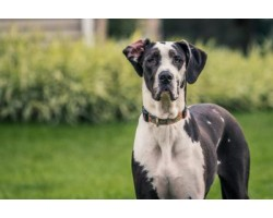 The Best Dog Food for Great Dane. What Should You Really Be Feeding?