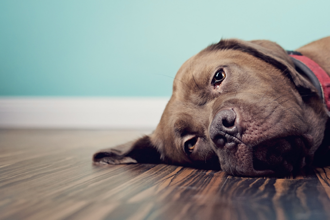 Your dog could be restless and show signs of irritability and malaise